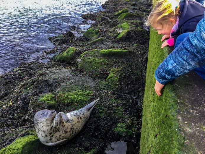 Een zeehond op de pier bij Hoek van Holland trok zondagmiddag veel bekijks.
