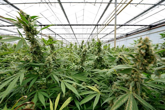 Een illegale plantage die een aantal jaar geleden in het Brabantse Made werd aangetroffen.