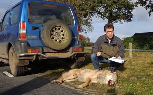 Een wolf die eerder dit jaar in het noorden van Nederland is aangetroffen.