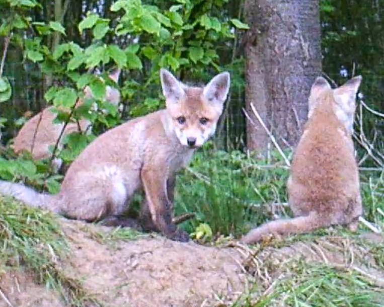 Enkele van de jonge vossen aan de burcht. Volgens de telling van Koen zijn het er minstens zeven.