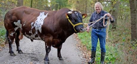 Guus uit Geesteren mag zich de beste stier van Nederland noemen