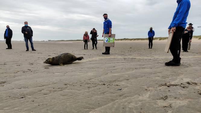 Zeehondenpup, die met natte navelstreng aanspoelde, krijgt weer de vrijheid