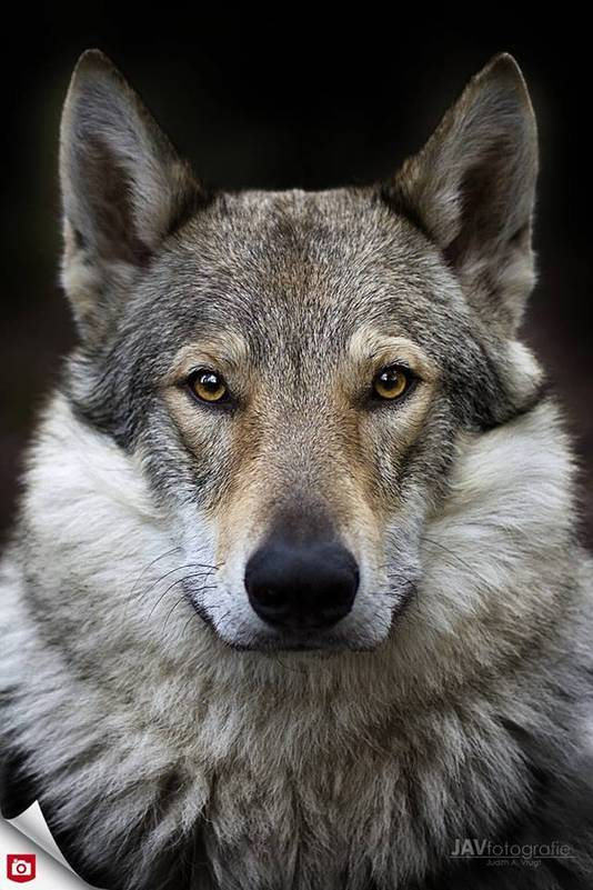 Canto, de Tjechoslowaakse wolfshond van Eddie Wolters