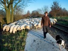 Vijftig schapen proeven éven de vrijheid  in Groesbeek