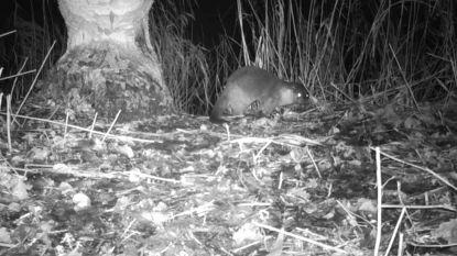 Na de wolf ook otter terug in Vlaanderen.  En dat is niet alleen voor de bijna uitgestorven soort goed nieuws
