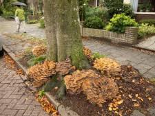 Reuzenzwam vreet beuk in Baarn op: boom gekapt