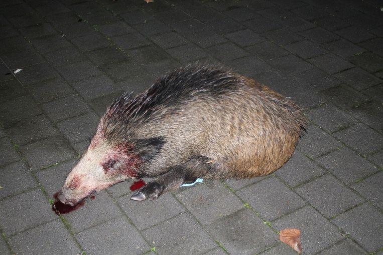 Voor het eerst werd er een everzwijn in Zuid-Limburg aangereden door een auto.