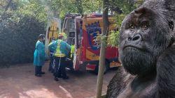 Gorilla valt verzorgster aan in Spaanse dierentuin