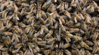 Bewoners Gentbrugge krijgen opmerkelijke buren: 15.000 zeldzame zwarte bijen
