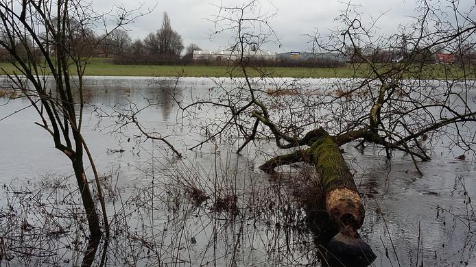De omgeknaagde boom langs de Niers in Gennep.
