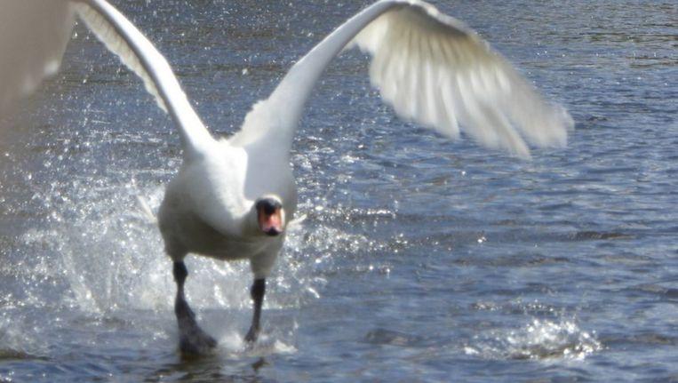 De agressieve zwaan in actie Beeld Wouter van der Wulp