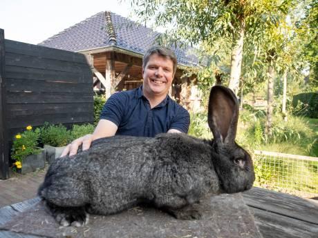 Bram uit Den Ham heeft mooiste Vlaamse Reus van Nederland: 'Het is een kolossaal dier'