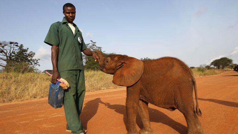Een vijf maanden oude olifant met zijn verzorger in Mkomazi in Tanzania in 2011. Beeld Getty Images
