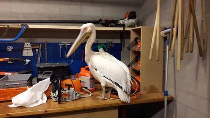 Verdwaalde pelikaan komt terecht in natuurhulpcentrum