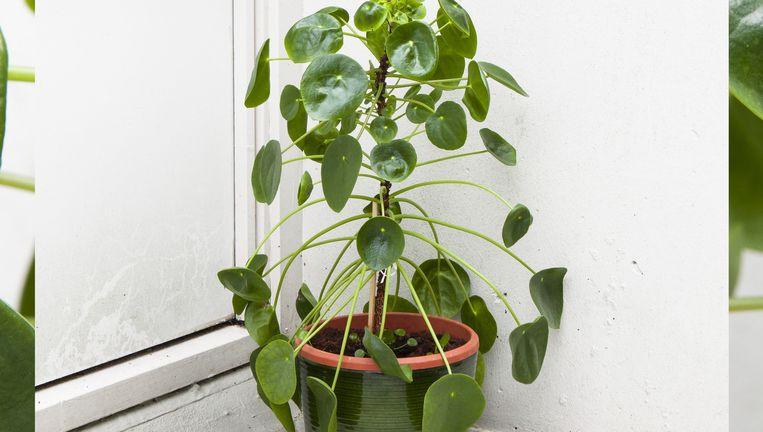 De pilea peperomioides alias de pannenkoekplant. Beeld Studio V