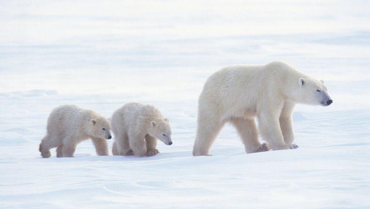 Een ijsbeer met haar jongen. Beeld Thinkstock