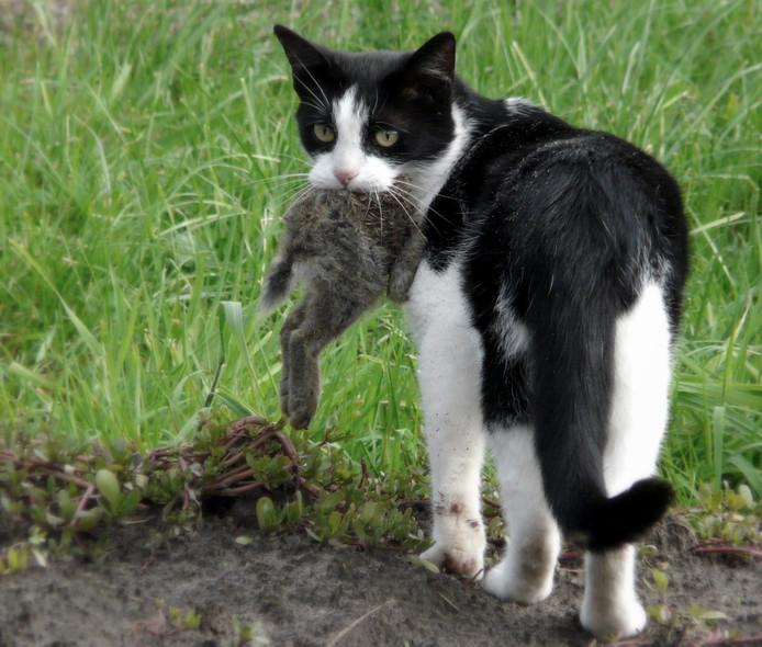 Kat op konijnenjacht.