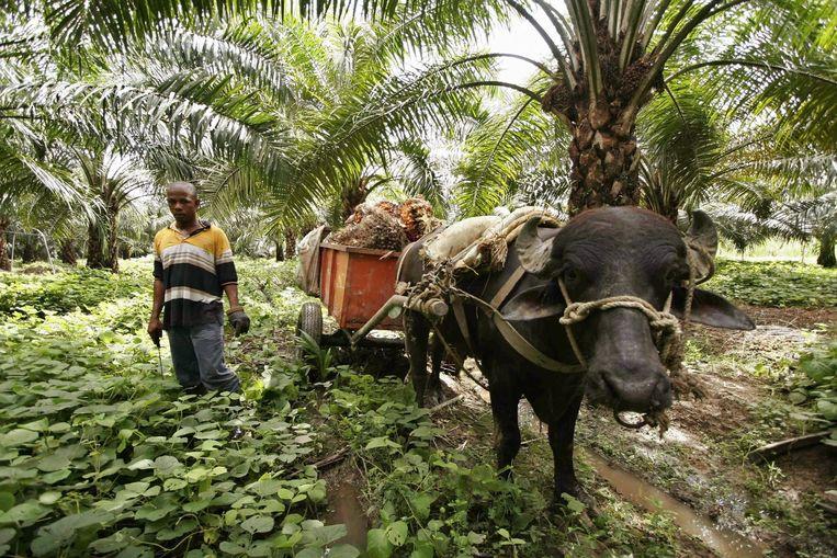 Palmolieplantage in Colombia. Voor de productie ervan wordt veel tropisch bos gekapt. Beeld null