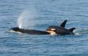 Een orka met haar pasgeboren kalf.