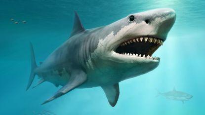 Studie werpt nieuw licht op waarom gigantische prehistorische haai uitstierf en het zou aan hemzelf gelegen hebben