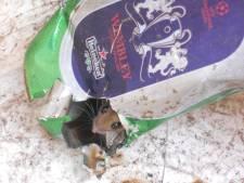 Onderzoek naar knaagdieren in huis: 'Een muis op het aanrecht is sowieso foute boel'