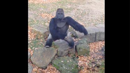 Woeste gorilla in zoo Berlijn slingert steen naar toeristen
