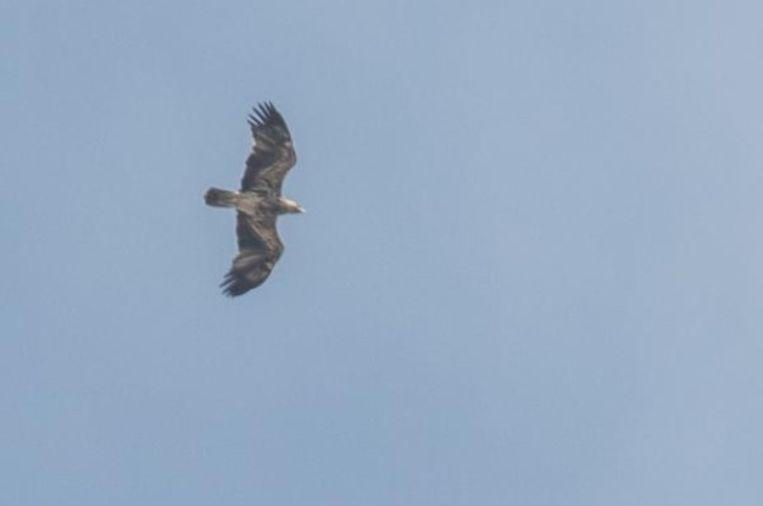 Bart Augustijns wist de roofvogel op de gevoelige plaat vast te leggen.