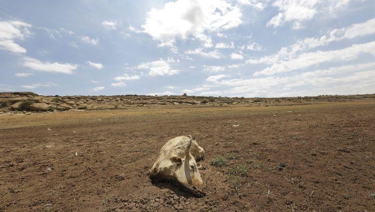 Een dode koe op het droge land in Senekal, Zuid Afrika Beeld DIO