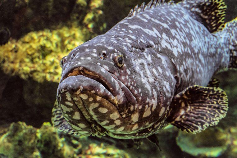 De itajara, een straalvinnige vis uit de familie van zaagbaarzen.