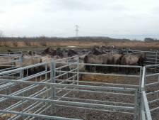 Konikpaarden uit de Oostvaardersplassen naar Wit-Rusland en Spanje