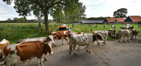 Koeienliefde: van de ene naar de andere weide in De Lutte