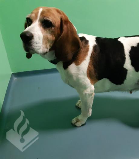 Eigenaar loslopende beagle in Gouda heeft zich gemeld