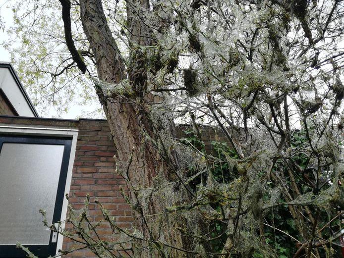 De boom in de buurt van de Heemraadstraat in Scheveningen hangt vol met de gestippelde rupsjes.