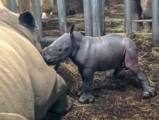 Neushoorntje geboren in Burgers' Zoo, dierentuin hoort nu bij Europese top neushoornfokkers