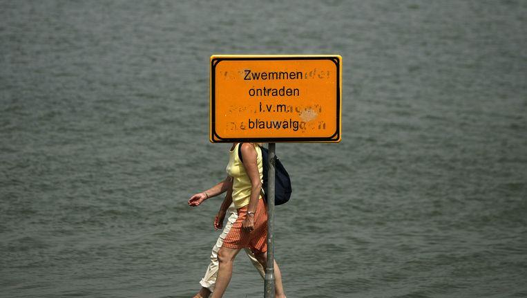 De quaggamossel, die in 2008 voor het eerst in de Sloterplas werd gesignaleerd, eet blauwalg weg. Beeld anp