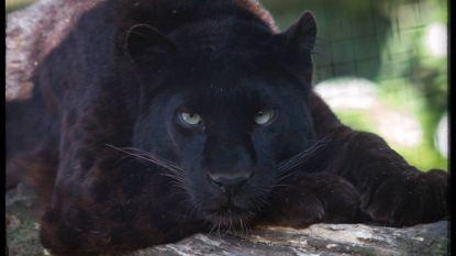 Olmense Zoo verliest zwarte panter Malik