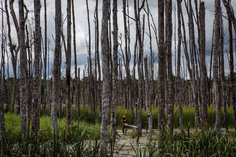 Door vervuilend mijnafval zijn deze bomen in West-Papoea zo erg aangetast dat ze zijn gestorven. Beeld Getty Images
