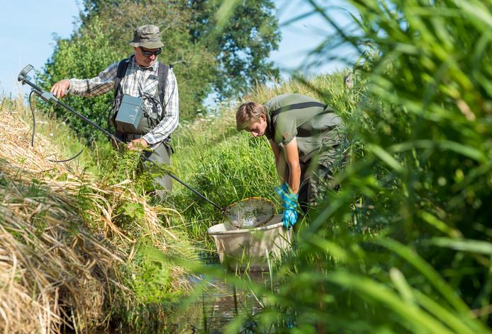 In de bijna opgedroogde Verloren Beek bij Zuuk vingen Anton van Triest en Tom Berk zeldzame vissen, die elders weer werden uitgezet