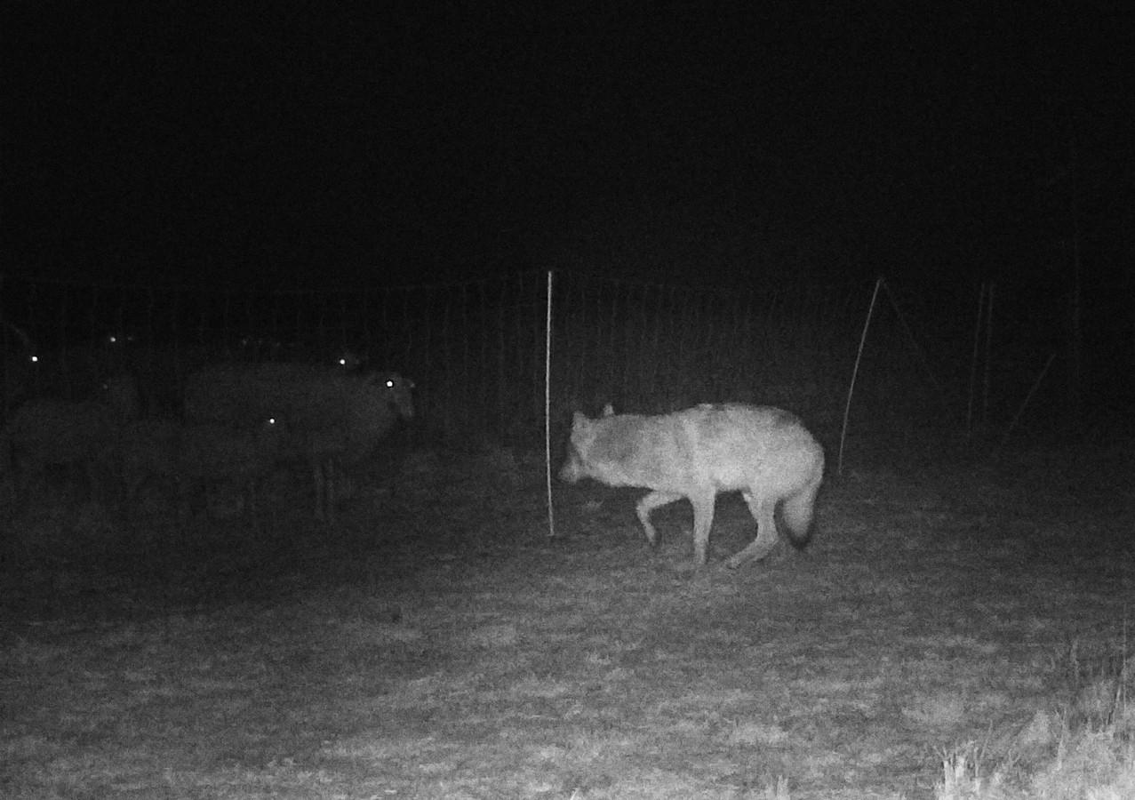 Een wolf op de Veluwe bij een elektrisch raster.