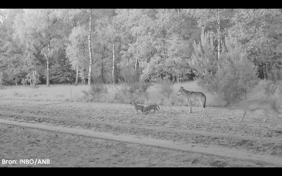 Beelden van de wolvenwelpen van August en Noëlla.