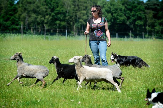 Susanne Lejuez in actie met haar hond en schapen.