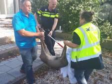 Wijkagent vangt 'Bambi' in centrum Tiel