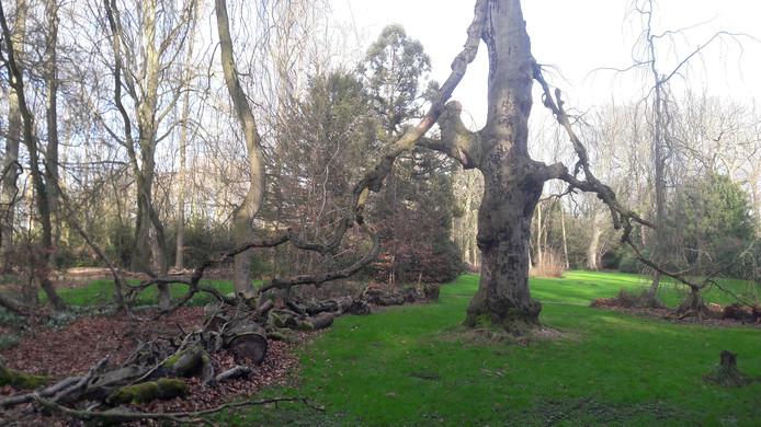 Een dode treurbeuk in het Geldropse kasteelpark.
