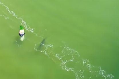 Drone filmt hoe dicht haai bij surfer komt en net niet aanvalt