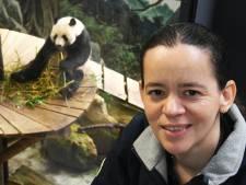 Vier jaar na panda-deal zijn de dieren helemaal gewend in Ouwehands Dierenpark