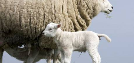 Ruwaarders willen geen schaap als buur