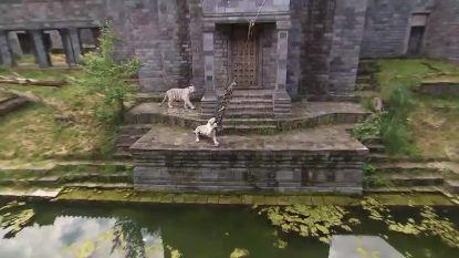 Witte tijgers in Pairi Daiza hebben een nieuw speeltje en dat laten ze niet graag los