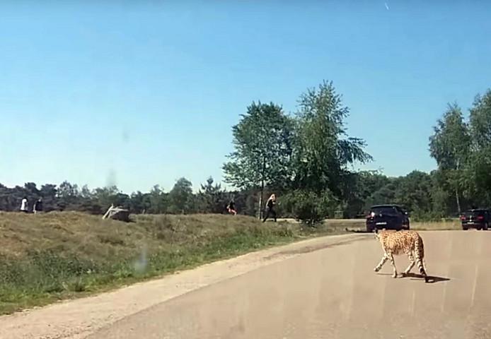 Een Frans gezin stapt met gevaar voor eigen leven uit de auto tijdens een auto-safari in Beekse Bergen.
