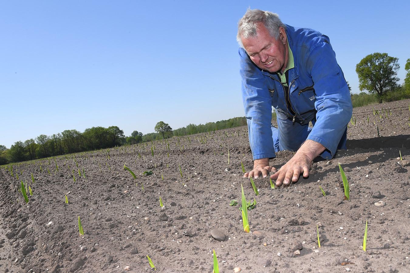 Theo Theunissen in april, toen zijn gladiolen net op kwamen.