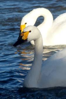 Zwaan met gebroken hart vindt liefde terug na barre tocht van 4000 kilometer
